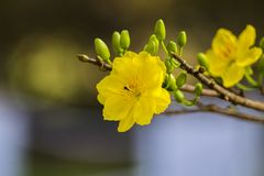 Royalty high quality free stock image of Ochna flower. Ochna is symbol of Vietnamese traditional lunar New Year together with peac. Ochna Integerrima flower royalty free stock photo