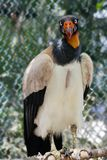 The royalty vulture. The royalty vulture is a bird of large size. Naked skin of the face in folds and wrinkles, on the wax in adult birds of both sexes leathery stock image