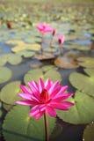 Royaume du Cambodge de nénuphar de fleur du Cambodge de merveille Image stock