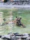 Royel bengal tiger Arkivfoton