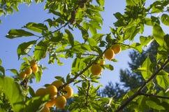 Rozładowanie owocowy kolor żółty na gałęziasty dojrzałym zdjęcie stock