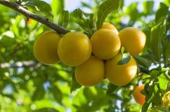 Rozładowanie owocowy kolor żółty na gałęziasty dojrzałym obraz stock