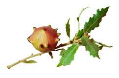Rozadura - rozadura de Apple Fotografía de archivo libre de regalías