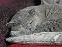 Rozanielony sypialny zarodowy kot obraz stock