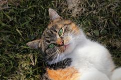 Rozanielony u?miech Śmieszny wyrażenie domowym kotem Grymas colourful figlarką Migdali kłama w trawie i relaksuje po gry obrazy stock