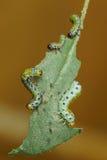 Rozanova larwy Sawfly lat Arge ochropus na szkotowym róży lat Wzrastał Obrazy Royalty Free