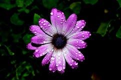 Rozchlupotana purpurowa stokrotka zdjęcia royalty free