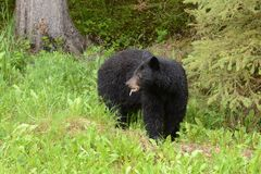 Rozchlupotany Amerykański czarny niedźwiedź je dandelion Obrazy Royalty Free