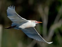 rozciągnięci egret skrzydła Fotografia Stock