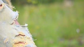 Rozdzierający cajgi, błękitny zatarty rozdzierający cajgu zbliżenie zbiory wideo