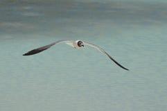 Roześmiany frajer Wznosi się Nad Tropikalnym Nawadnia w Aruba Zdjęcie Royalty Free