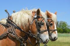 Roześmiany koń Zdjęcia Stock
