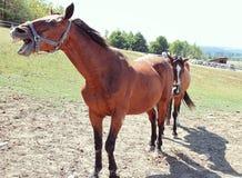 Roześmiany koń Obrazy Royalty Free