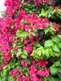 Roze 1 van de Bougainvillea van de bloem Stock Foto's