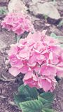 Roze roze roze stock foto
