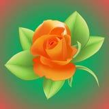 Roze Ilustração Royalty Free
