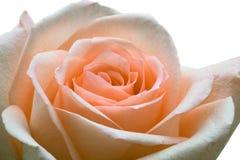 Roze. Stock Foto