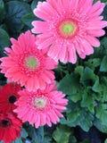 Roze Royalty-vrije Stock Fotografie