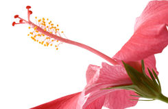 Roze Royalty-vrije Stock Foto