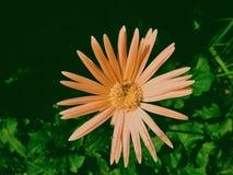 Roze Stock Afbeelding