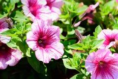 Roze Aardbeipetunia stock afbeelding