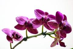 Roze aardbloem royalty-vrije stock fotografie