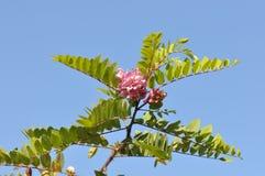 Roze acacia stock afbeelding