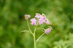 Roze Achillea-millefoliumbloem Stock Afbeelding