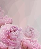 Roze achtergrond met Roze pioen tot bloei komende bloemen Stock Afbeeldingen