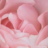 Roze achtergrond: Rose Stock Photos Royalty-vrije Stock Afbeeldingen