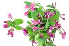 Roze achtergrond Weigela stock foto