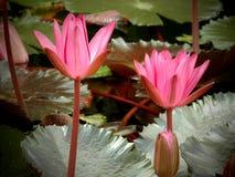 Roze acuatic bloem Royalty-vrije Stock Fotografie