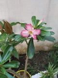 Roze Adenium-bloem royalty-vrije stock afbeeldingen
