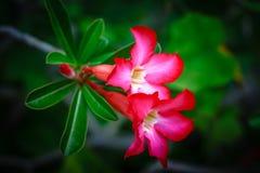 Roze Adenium Obesum Stock Foto