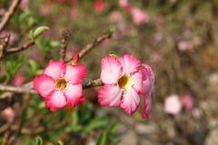 Roze Adenium Obesum Stock Foto's
