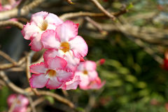 Roze Adenium Obesum Stock Afbeelding
