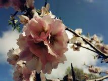 Roze amandelbloesem Royalty-vrije Stock Foto's
