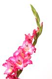 Roze & Witte Gladiola Royalty-vrije Stock Fotografie