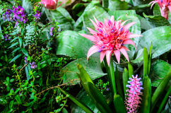 Roze Ananasbloem in Tuin Stock Afbeeldingen