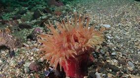 Roze Anemone Actinia onderwater op zeebedding van de Barentsz Zee stock videobeelden