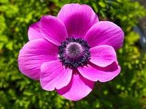 Roze Anemone de Caen-bloem stock fotografie