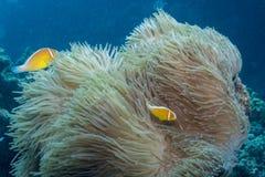 Roze Anemonefish stock afbeelding
