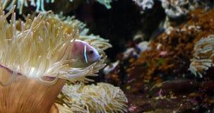 Roze Anemonefish, amphiprionperideraion, die zich dichtbij Anemoon bevinden, stock video
