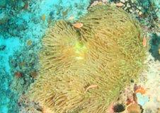 Roze anemonfish royalty-vrije stock afbeelding
