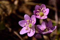 Roze anemoon Royalty-vrije Stock Afbeeldingen