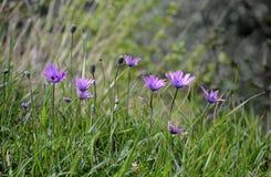 Roze anemoonwildflowwers in een grasweide royalty-vrije stock afbeeldingen