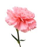 Roze anjer royalty-vrije stock afbeeldingen