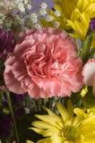 Roze Anjer Stock Afbeeldingen