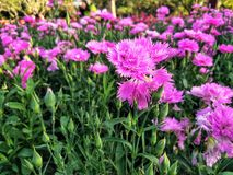 Roze Anjer in de tuin royalty-vrije stock afbeeldingen
