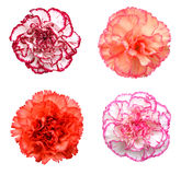 Roze anjerbloem royalty-vrije stock afbeeldingen